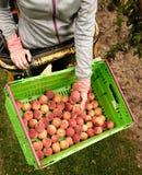 Nectarinas de la cosecha en la huerta en Nueva Zelanda La fruta jugosa hermosa necesita ser escogida este verano Foto de archivo