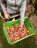 Nectarinas de la cosecha en la huerta en Nueva Zelanda La fruta jugosa hermosa necesita ser escogida este verano Imagenes de archivo