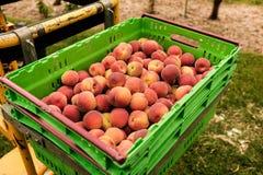 Nectarinas de la cosecha en la huerta en Nueva Zelanda La fruta jugosa hermosa necesita ser escogida este verano Fotos de archivo