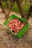 Nectarinas de la cosecha en la huerta en Nueva Zelanda La fruta jugosa hermosa necesita ser escogida este verano Imagen de archivo libre de regalías
