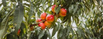 Nectarinas orgánicas dulces en árbol en jardín grande bandera imagen de archivo