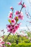 Nectarine Blossom Stock Photography
