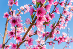Nectarine Blossom Stock Photos