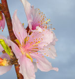 Nectarine flowers Royalty Free Stock Photo