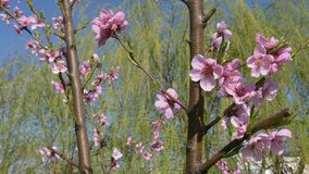 Nectarine flowers tree, blooming in the springtime. Nectarine flowers tree, blooming in the spring stock video footage