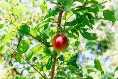 Nectarine juteuse douce sur un arbre Moisson de la nectarine Jardinage Image libre de droits