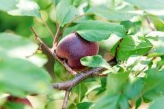 Nectarine juteuse douce sur un arbre Moisson de la nectarine Jardinage Photographie stock libre de droits