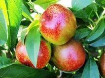 Nectarine  7 Stock Image