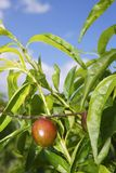 Nectarine peach tree growing in spring blue sky Stock Photography