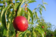 Nectarine rouge mûre simple sur l'arbre dans un verger un après-midi ensoleillé photographie stock