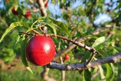 Nectarine rouge mûre sur l'arbre dans un verger un après-midi ensoleillé image stock