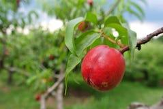 Nectarine rouge mûre sur l'arbre dans un verger un jour d'été photo libre de droits