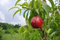 Nectarine rouge mûre sur l'arbre dans un verger un jour d'été photographie stock