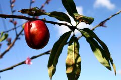 Nectarine tree Stock Photos