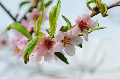 Nectarine tree in bloom Royalty Free Stock Image