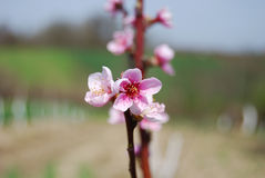 Nectarine tree flowers Royalty Free Stock Photos