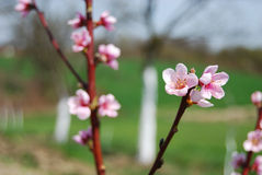 Nectarine tree flowers Royalty Free Stock Images