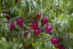 Nectarine tree. In the Golan Heights in Israel stock photography