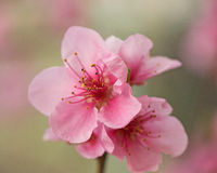 Nectarines blooming Royalty Free Stock Image