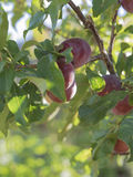 Nectarines on a branch. Closeup of several nectarines growing on a tree branch royalty free stock photo