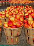Nectarines in Bushels royalty free stock photos