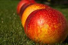 Nectarines. Four nectarines in a row on the grass Royalty Free Stock Images