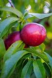 Nectarines Fruit on Tree Royalty Free Stock Photography