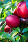 Nectarines Fruit on Tree Royalty Free Stock Photo