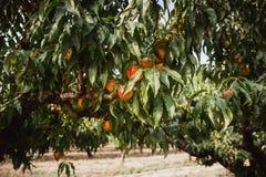 Nectarines organiques douces sur l'arbre dans le grand jardin photos libres de droits