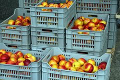 Nectarines. Some plastic basket with nectarines at the market Royalty Free Stock Photography