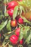 Nectarines sur l'arbre Photographie stock libre de droits