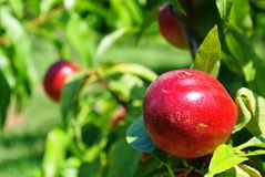 Nectarines on a tree Stock Images