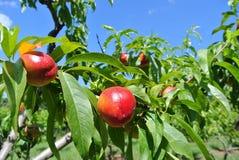 Nectarines on a tree Stock Photo