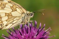 nectaring在一朵更加伟大的黑矢车菊属矢车菊scabiosa花的一使有大理石花纹的白色蝴蝶Melanargia galathea 库存图片