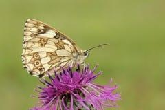 nectaring在一朵更加伟大的黑矢车菊属矢车菊scabiosa花的一使有大理石花纹的白色蝴蝶Melanargia galathea 库存照片