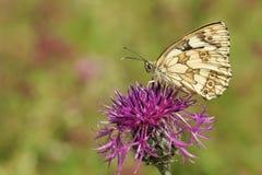 nectaring在一朵更加伟大的黑矢车菊属矢车菊scabiosa花的一使有大理石花纹的白色蝴蝶Melanargia galathea 免版税库存图片