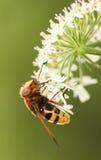 nectaring在花的大黄色Hoverfly Volucella inanis 免版税库存图片