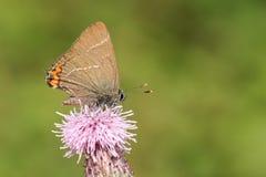 nectaring在蓟花的一个罕见的白信件翅上有细纹的蝶蝴蝶Satyrium w册页 免版税库存图片