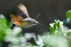 Nectaring da falcão-traça do colibri (stellatarum de Macroglossum) Fotografia de Stock Royalty Free