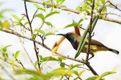 Nectarinia asiatica Vogel Stockbild