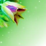 Nectaroscordum Lizenzfreie Stockbilder
