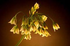 Nectaroscordum Siculum (蜂蜜大蒜,西西里人的蜂蜜百合) 库存照片
