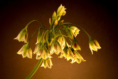 Nectaroscordum Siculum (Honey Garlic, Siciliaans Honey Lily) Stock Foto's