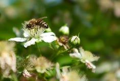 nectarpollination Royaltyfria Bilder