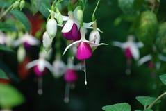 Nedåtriktade hängande vita purpurfärgade fuchsiablom royaltyfri bild