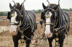 Ned e margherita, Shirehorses Immagini Stock