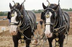 Ned y margarita, Shirehorses Imagenes de archivo