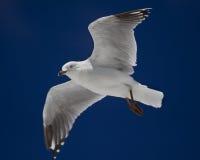 nedanför flygseagull Royaltyfria Bilder