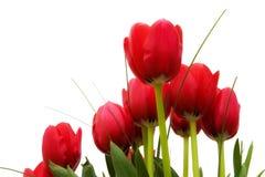 nedanför röda tulpan Royaltyfri Bild