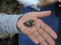 Nederländerna för mun för krabbafokusensling Royaltyfri Fotografi
